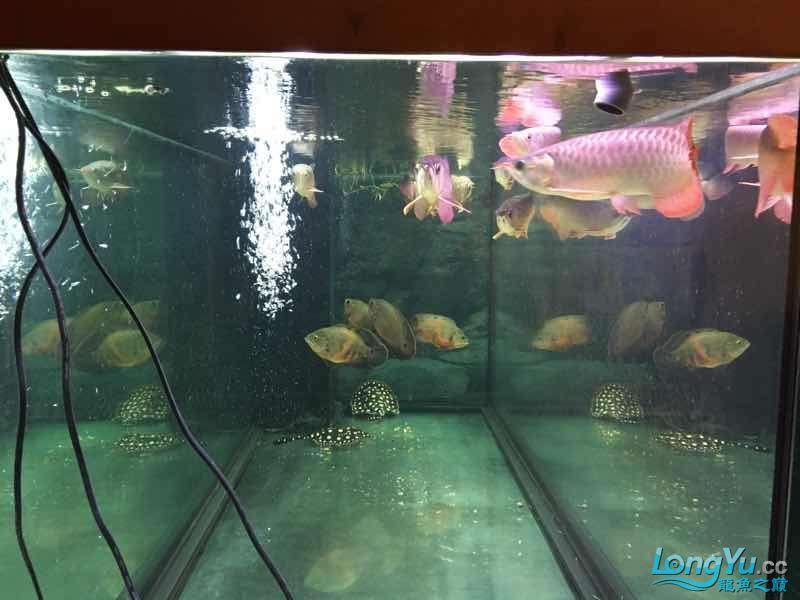 九龙四猪三魟 西安观赏鱼信息 西安博特第6张