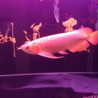 红龙趴缸但进食正常我个人意见如下 西安观赏鱼信息 西安博特第3张