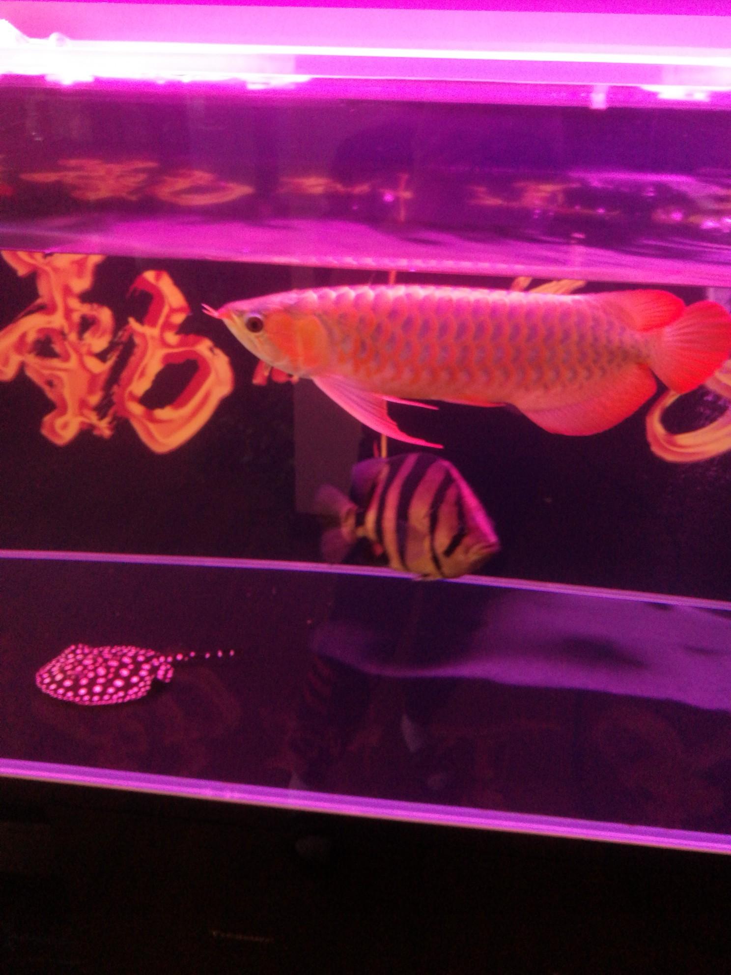 红龙趴缸但进食正常我个人意见如下 西安观赏鱼信息 西安博特第8张