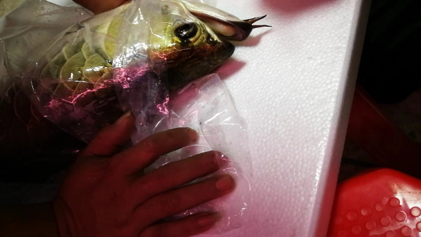 【西安鱼缸上门服务】魅莎的龙有龙如此得之幸矣 西安观赏鱼信息 西安博特第2张