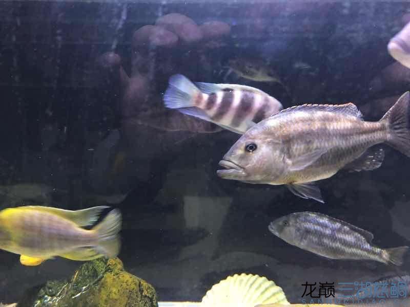 帮忙看看是什么品种? 西安观赏鱼信息 西安博特第1张