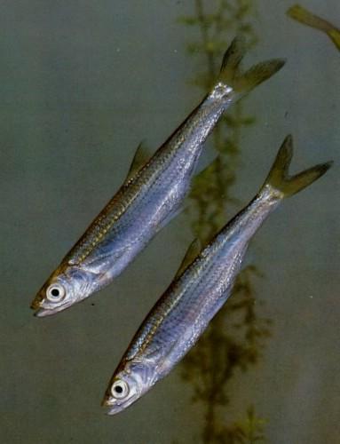 帮忙看看是什么品种? 西安观赏鱼信息 西安博特第3张