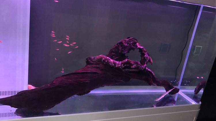 【西安至尊红龙】有没有什么颜色鲜艳性格温和的中上层鱼推荐
