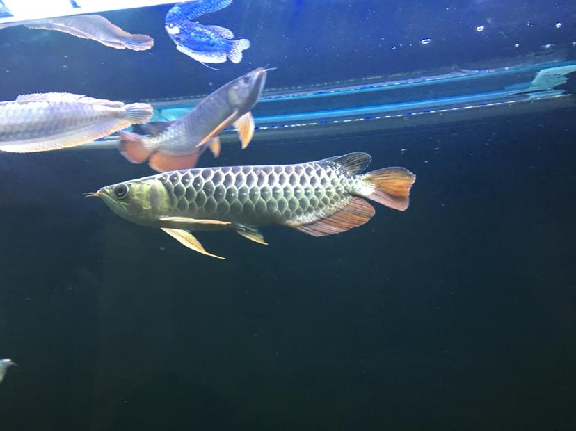关于龙鱼混养