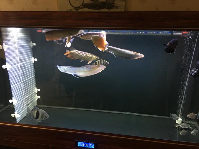 关于龙鱼混养 西安观赏鱼信息 西安博特第3张