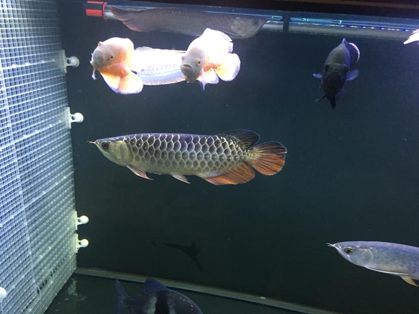 关于龙鱼混养 西安观赏鱼信息 西安博特第2张
