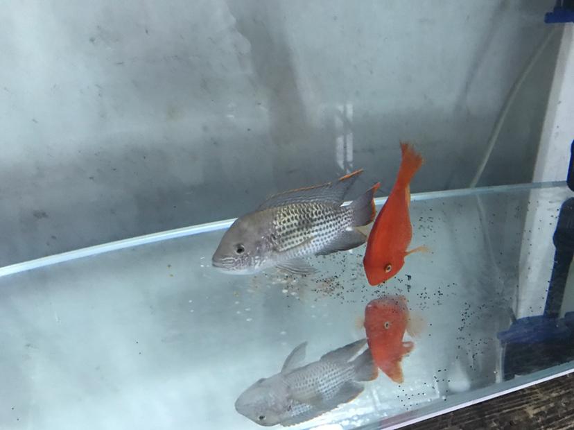 请问各位大手这黑黑的是什么 西安观赏鱼信息 西安博特第2张