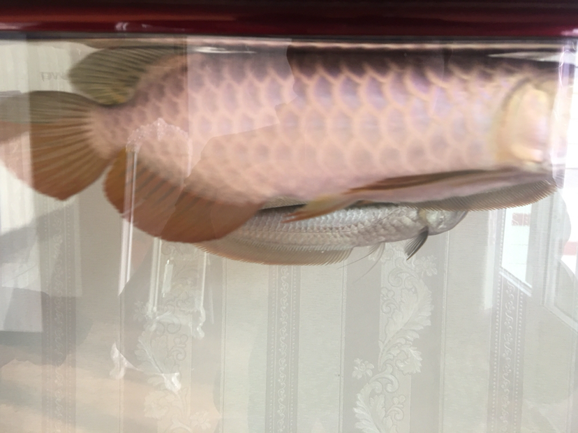 【西安水族鱼批发市场】新手昨天入缸麻烦大神给看下 西安龙鱼论坛 西安博特第2张