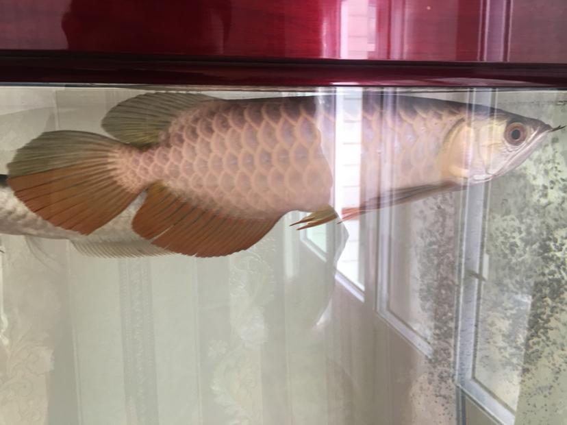 【西安水族鱼批发市场】新手昨天入缸麻烦大神给看下 西安龙鱼论坛 西安博特第3张
