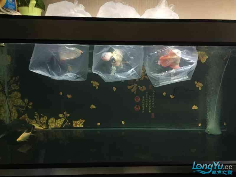 新一轮折腾换缸换龙已经全部到位龙入缸纪念帖 西安观赏鱼信息 西安博特第1张