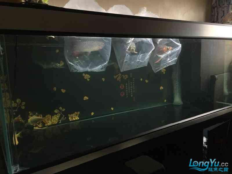 新一轮折腾换缸换龙已经全部到位龙入缸纪念帖 西安观赏鱼信息 西安博特第2张
