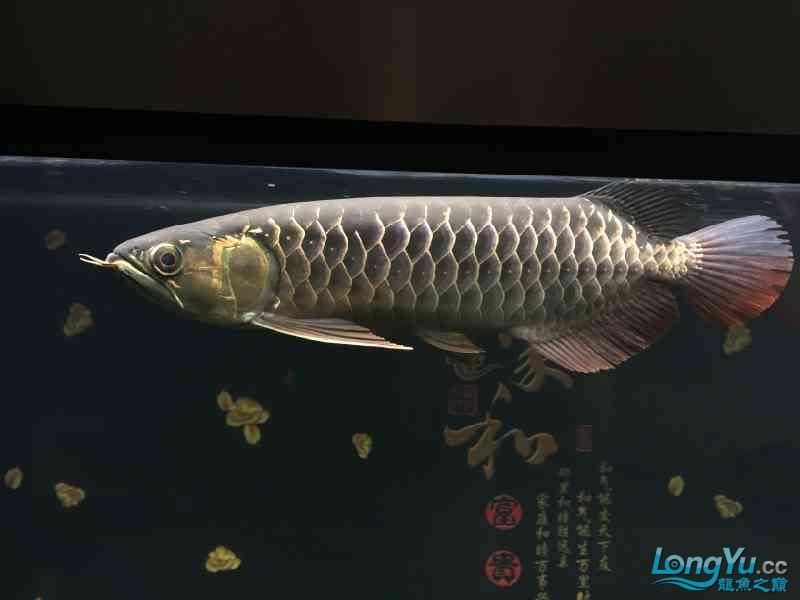 新一轮折腾换缸换龙已经全部到位龙入缸纪念帖 西安观赏鱼信息 西安博特第4张