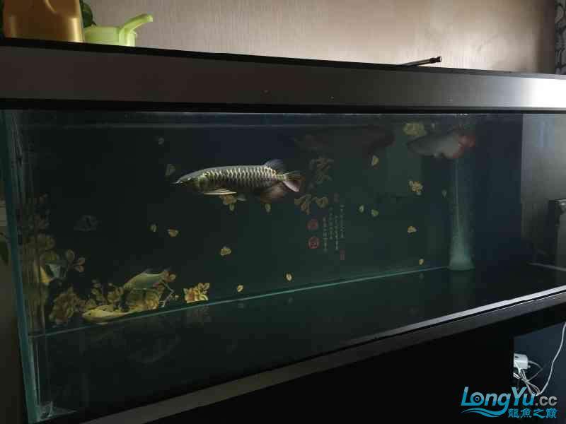新一轮折腾换缸换龙已经全部到位龙入缸纪念帖 西安观赏鱼信息 西安博特第3张