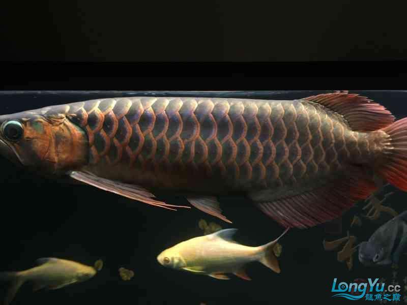 新一轮折腾换缸换龙已经全部到位龙入缸纪念帖 西安观赏鱼信息 西安博特第7张