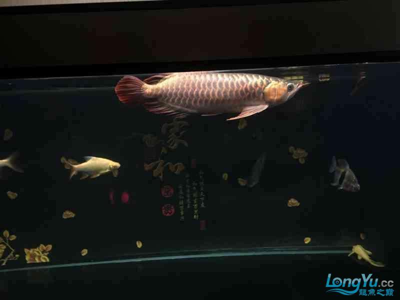 新一轮折腾换缸换龙已经全部到位龙入缸纪念帖 西安观赏鱼信息 西安博特第9张