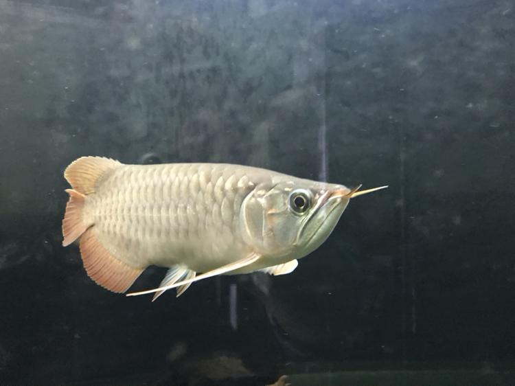 到家半年的红龙 西安观赏鱼信息 西安博特第4张