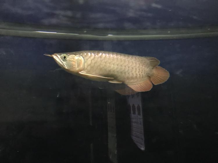 到家半年的红龙 西安观赏鱼信息 西安博特第3张