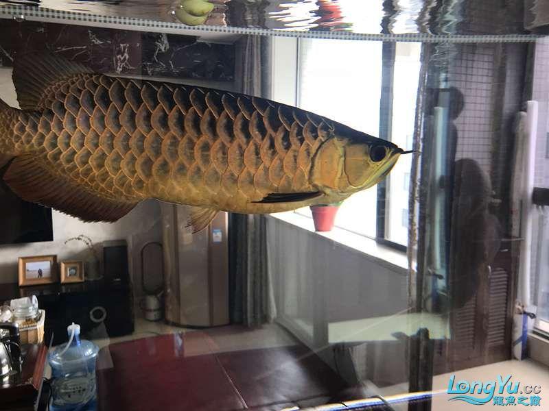 【西安细线银板鱼价格】分久必合 合久必分 西安观赏鱼信息 西安博特第3张