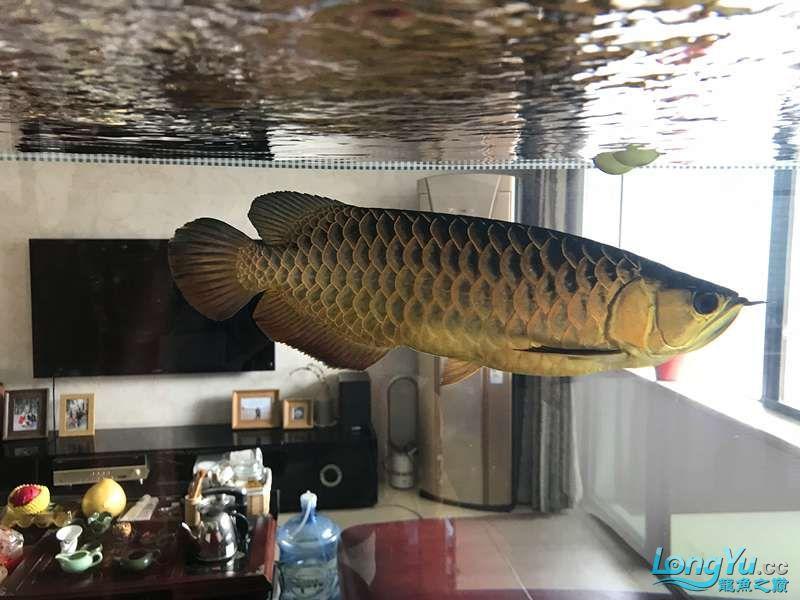 【西安细线银板鱼价格】分久必合 合久必分 西安观赏鱼信息 西安博特第4张