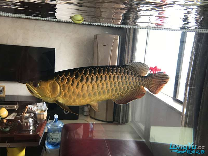 【西安细线银板鱼价格】分久必合 合久必分 西安观赏鱼信息 西安博特第6张
