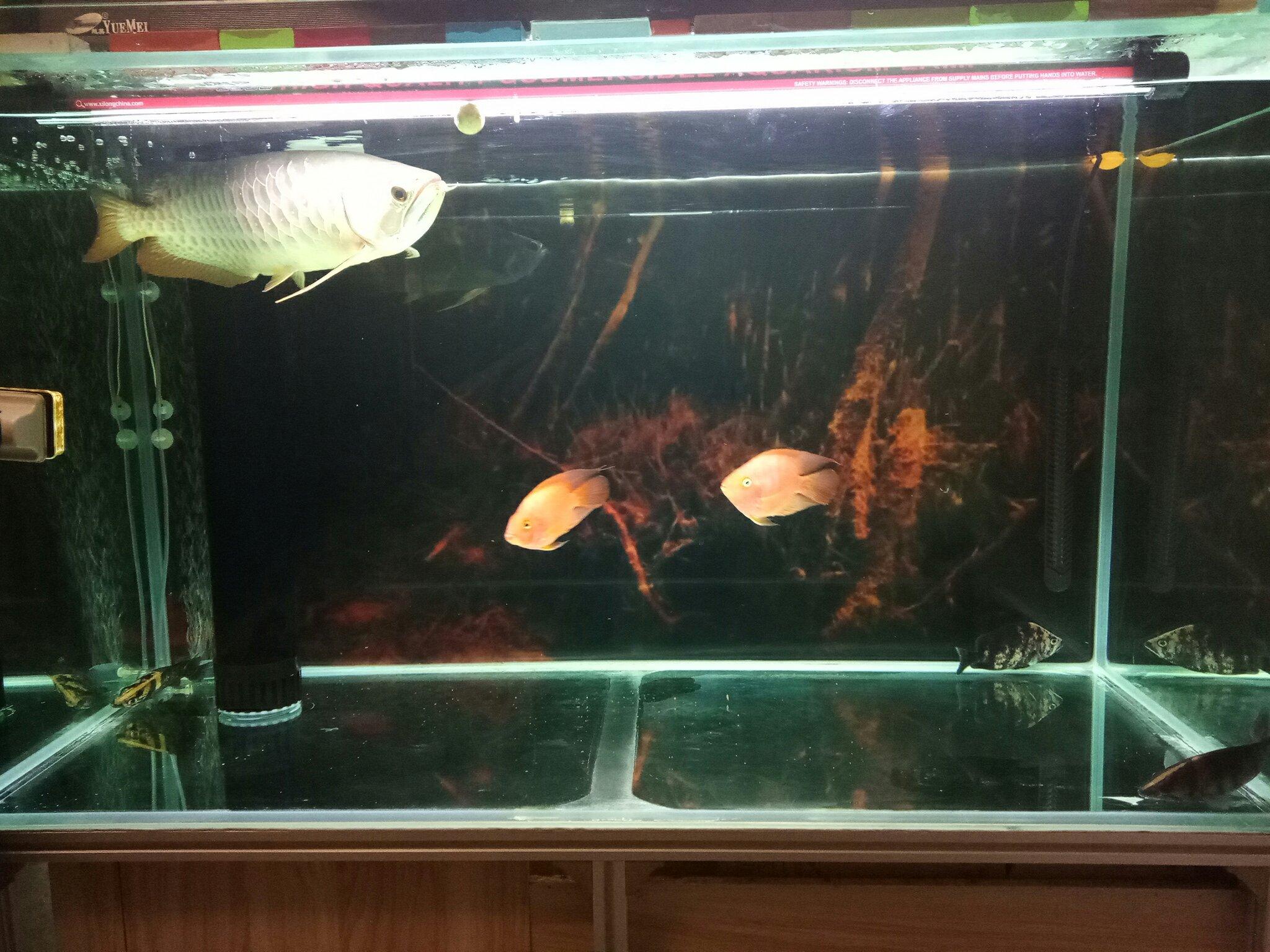 【西安黑白皇冠魟鱼饲养】让你们活多几天 西安观赏鱼信息 西安博特第3张