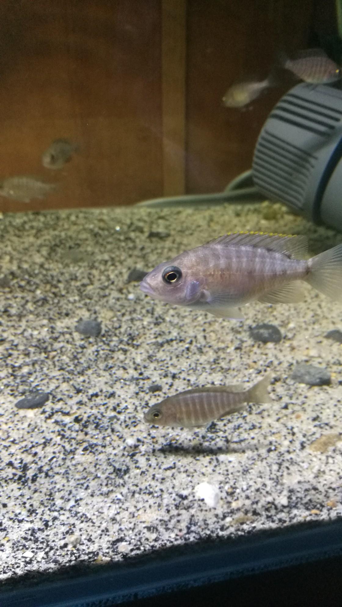 三湖金松鼠繁殖记录 西安观赏鱼信息 西安博特第7张