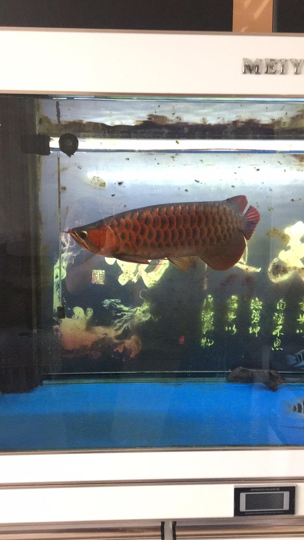 【西安白化大白鲨】40公分印尼红龙 西安龙鱼论坛 西安博特第5张