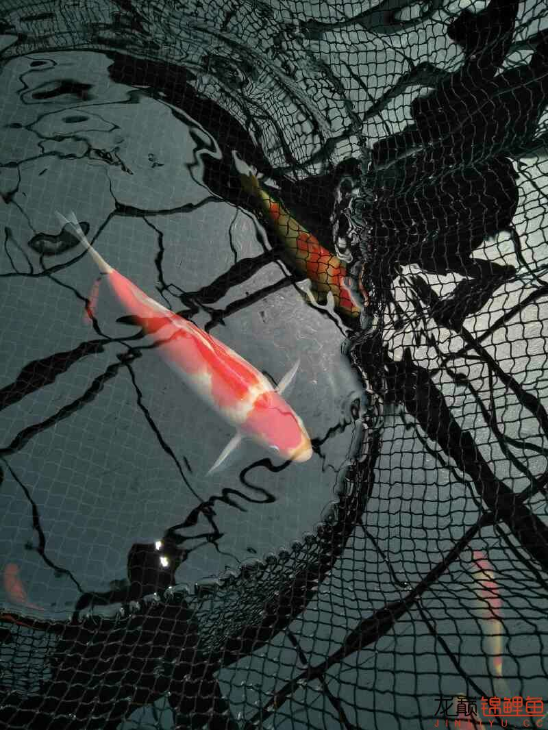【西安黄金鼠鱼】新进两条红白希望新年红红火火万事如意