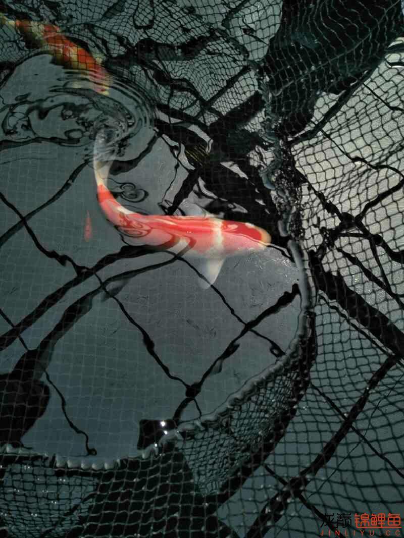【西安黄金鼠鱼】新进两条红白希望新年红红火火万事如意 西安龙鱼论坛 西安博特第5张
