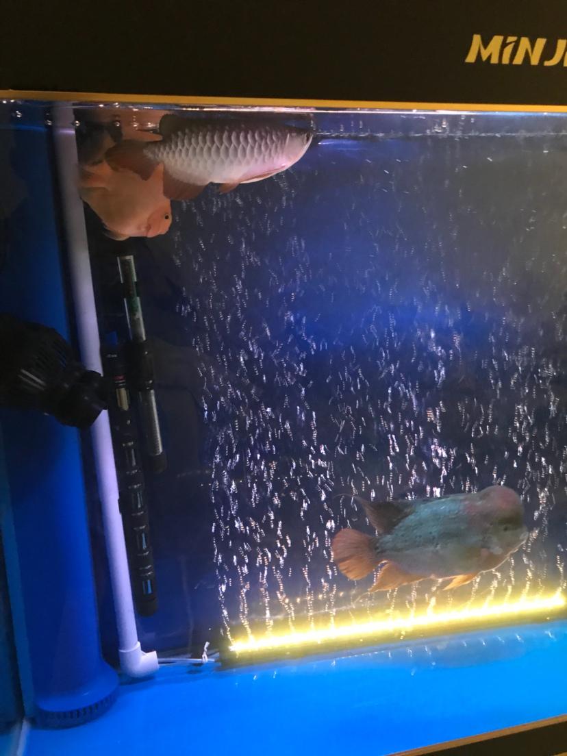 【西安白子关刀苗】罗汉与金龙混养 西安龙鱼论坛 西安博特第2张