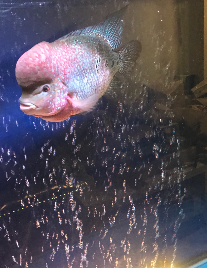 【西安白子关刀苗】罗汉与金龙混养 西安龙鱼论坛 西安博特第4张
