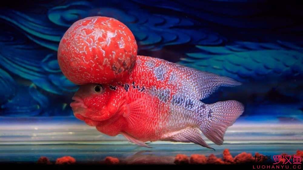 大头罗美图欣赏 西安观赏鱼信息 西安博特第2张
