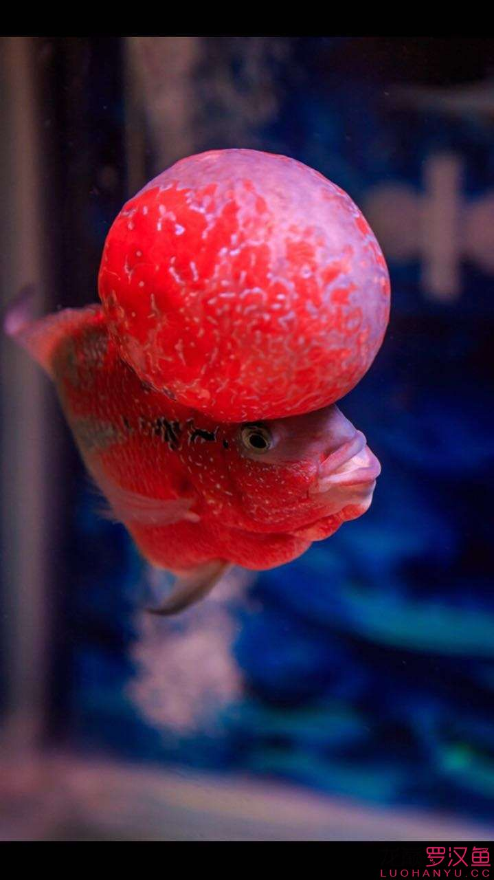 大头罗美图欣赏 西安观赏鱼信息 西安博特第3张