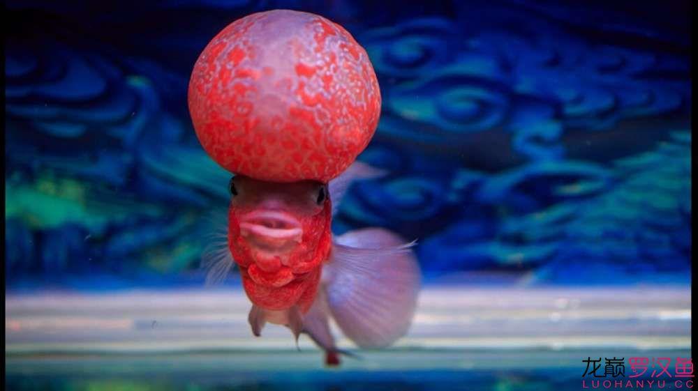 大头罗美图欣赏 西安观赏鱼信息 西安博特第4张