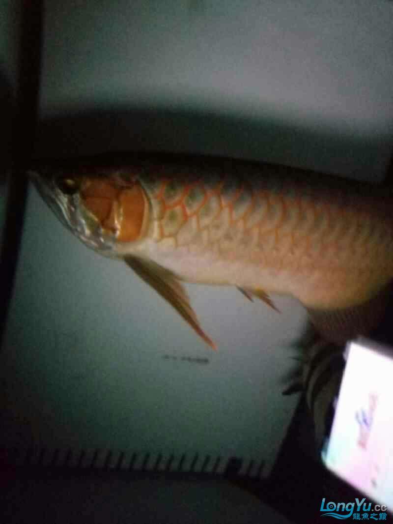 开灯的不开的都有想看的加微信18232827186 西安龙鱼论坛 西安博特第2张