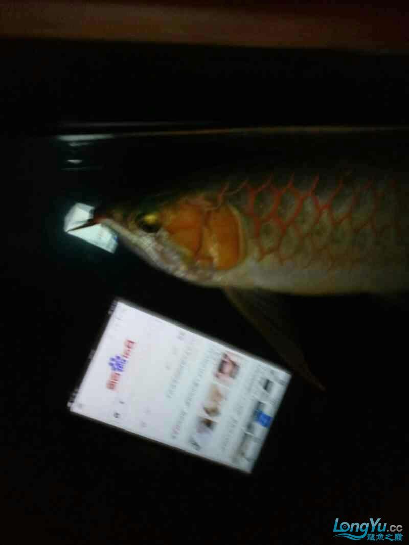 开灯的不开的都有想看的加微信18232827186 西安龙鱼论坛 西安博特第7张