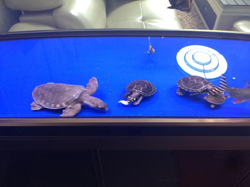 【西安鱼缸订制】[emoji:8J+Qog==]儿子的 西安龙鱼论坛 西安博特第2张