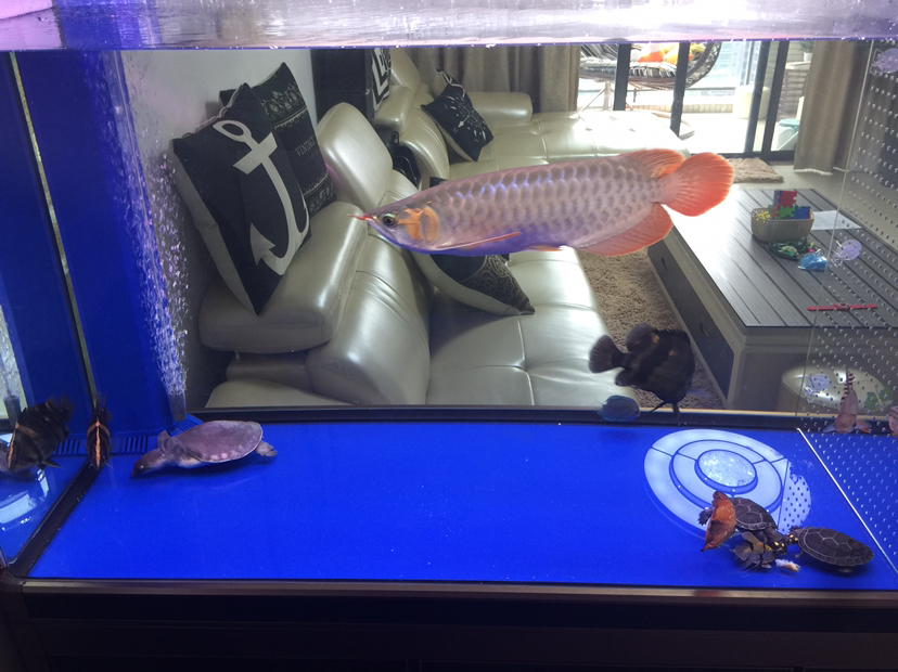 【西安鱼缸订制】[emoji:8J+Qog==]儿子的 西安龙鱼论坛 西安博特第3张