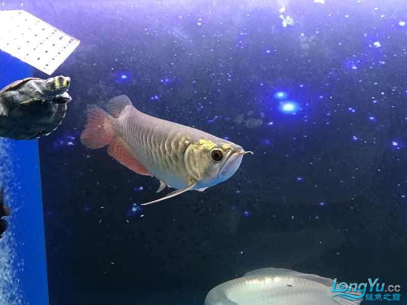 【西安白子魟鱼】小金到家三个月