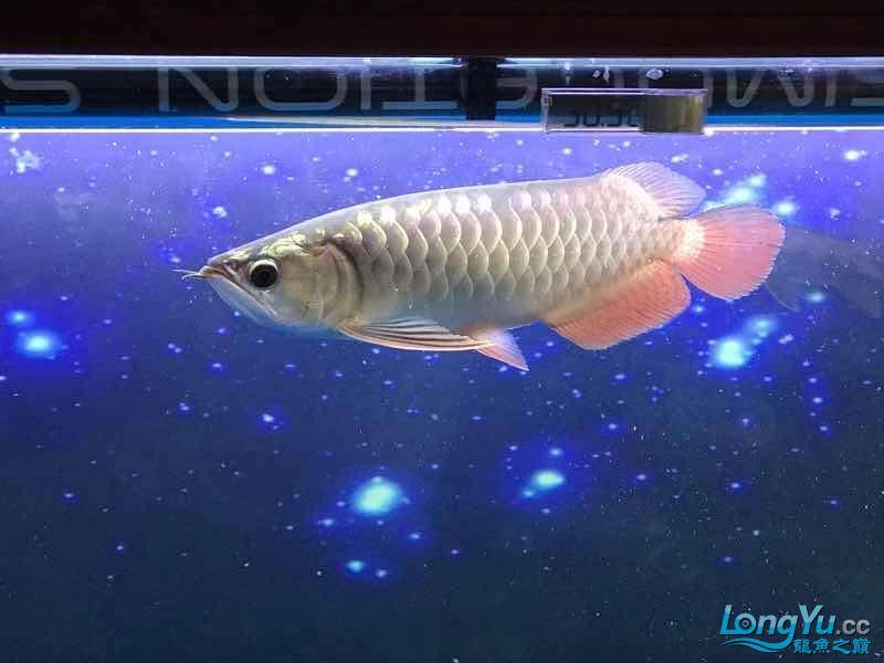 【西安白子魟鱼】小金到家三个月 西安龙鱼论坛 西安博特第2张