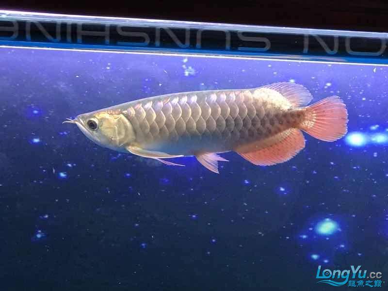 【西安白子魟鱼】小金到家三个月 西安龙鱼论坛 西安博特第3张