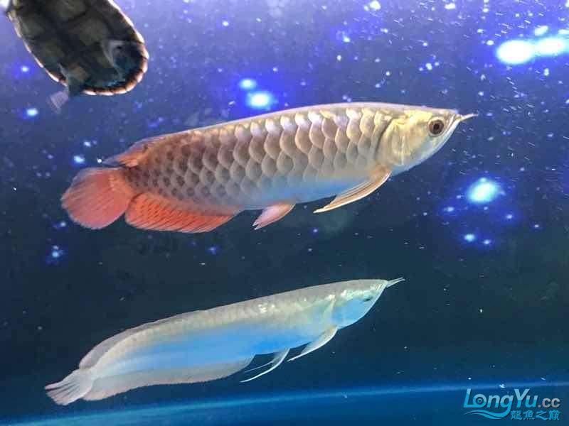 【西安白子魟鱼】小金到家三个月 西安龙鱼论坛 西安博特第4张