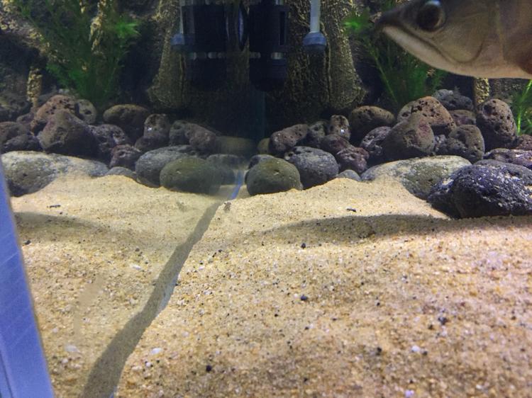 龙鱼缸里的清洁虾 西安龙鱼论坛 西安博特第2张