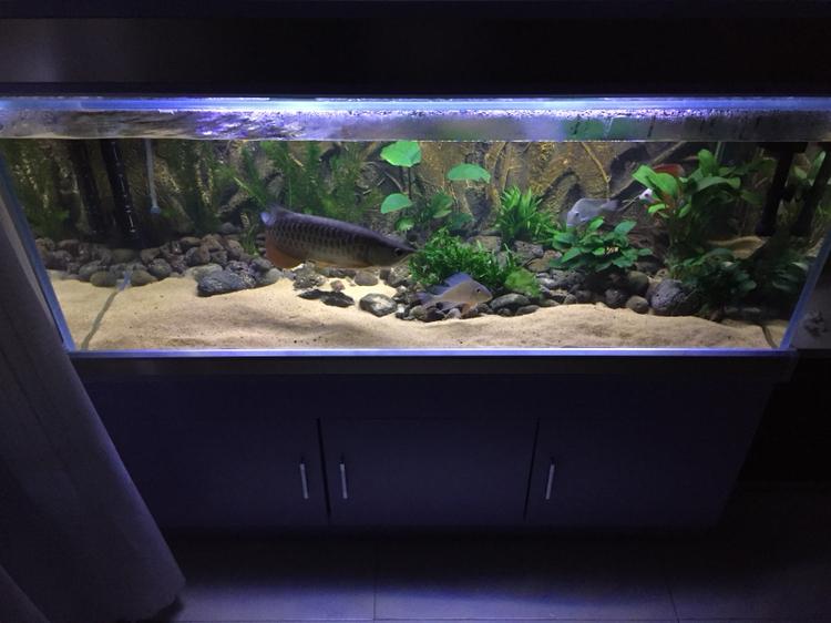 龙鱼缸里的清洁虾 西安龙鱼论坛 西安博特第4张