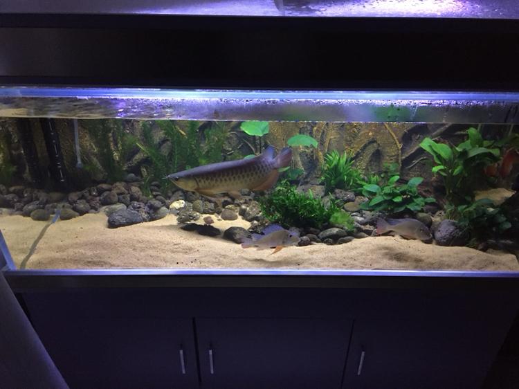 龙鱼缸里的清洁虾 西安龙鱼论坛 西安博特第5张