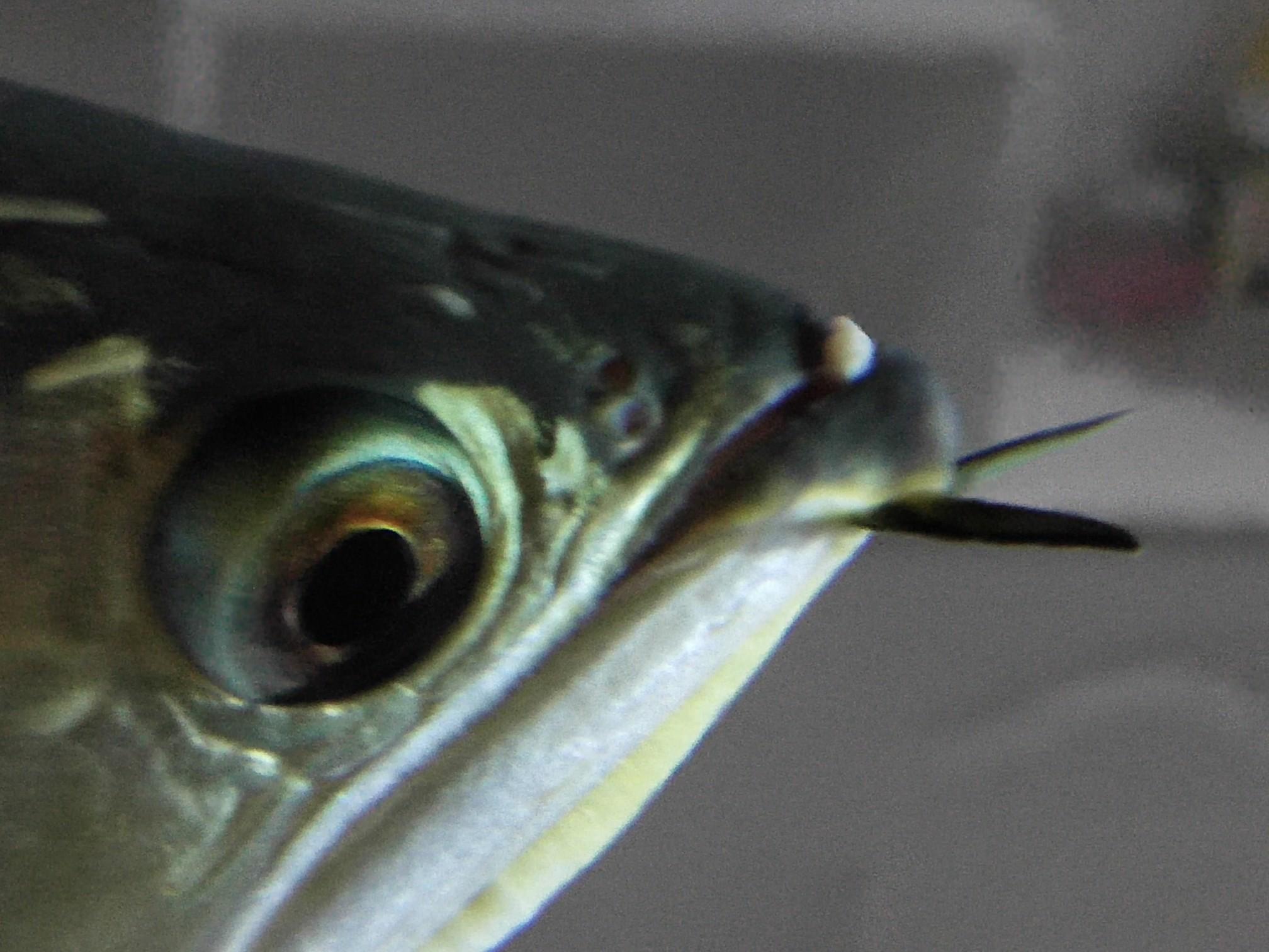 看看龙鱼嘴里长得什么 求治疗 西安观赏鱼信息 西安博特第2张