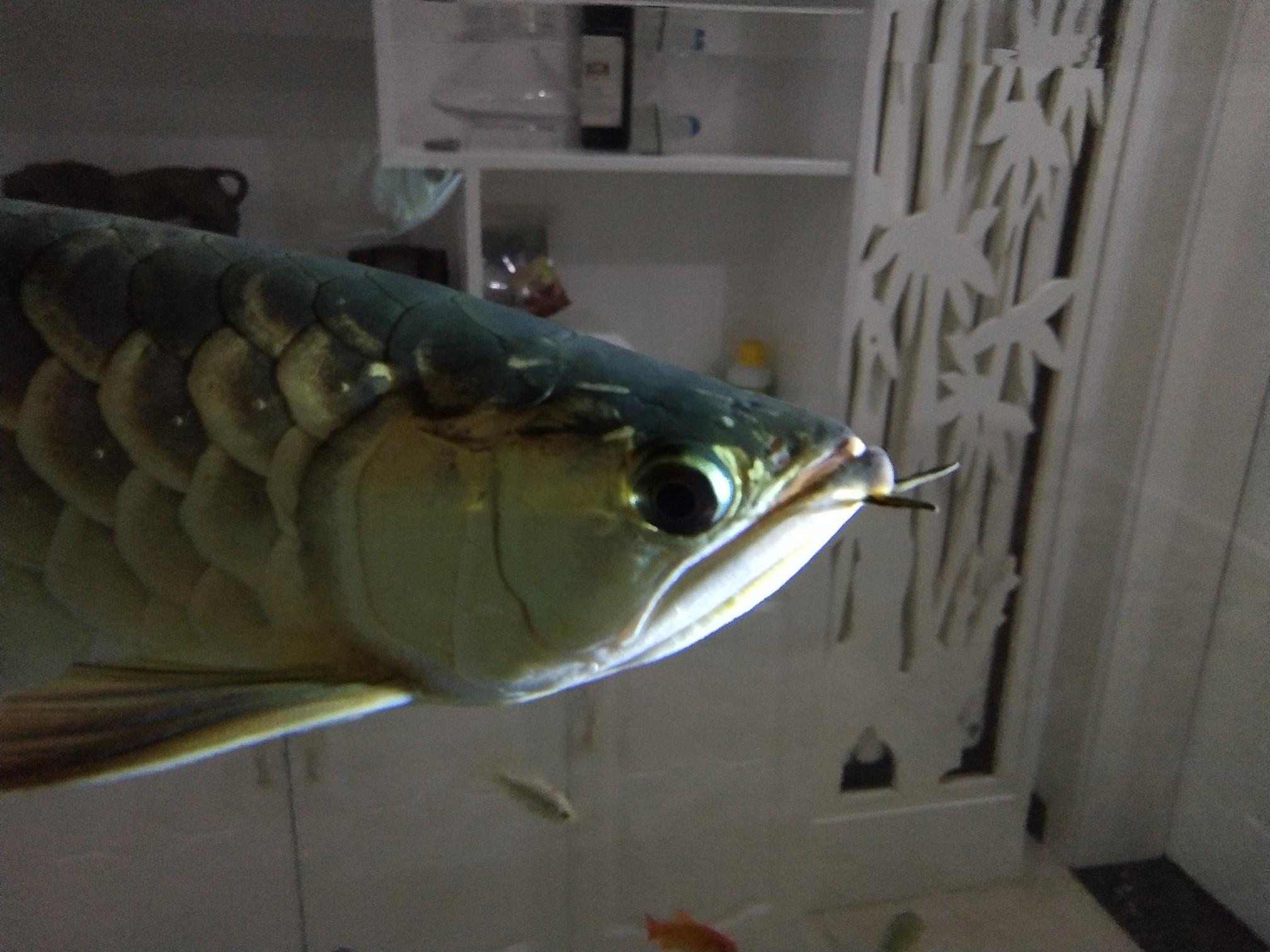 看看龙鱼嘴里长得什么 求治疗 西安观赏鱼信息 西安博特第5张