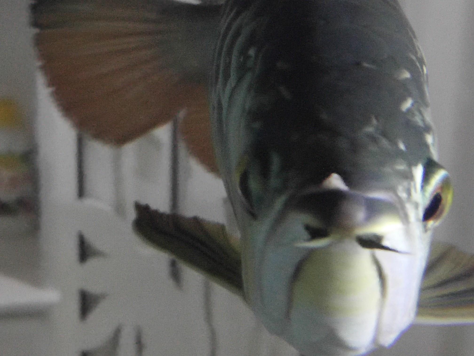 看看龙鱼嘴里长得什么 求治疗 西安观赏鱼信息 西安博特第3张