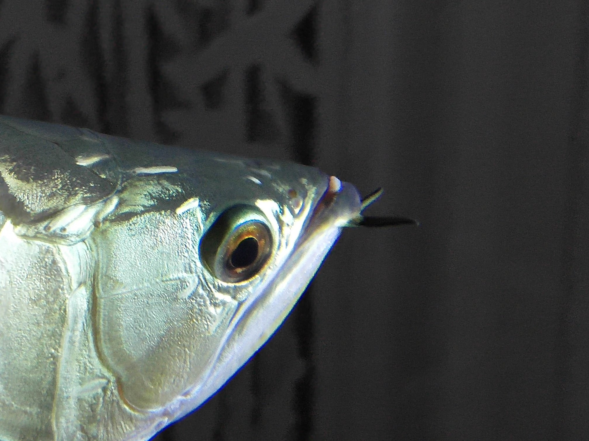 看看龙鱼嘴里长得什么 求治疗 西安观赏鱼信息 西安博特第4张