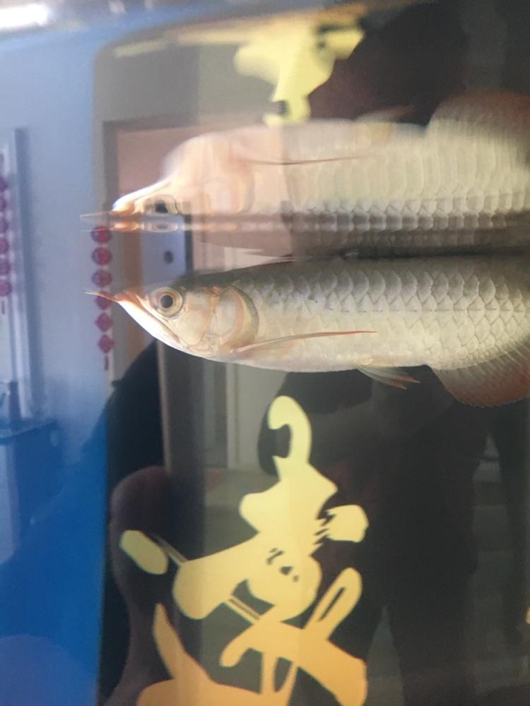 【西安泰金罗汉鱼专卖】融鳞 西安龙鱼论坛 西安博特第2张